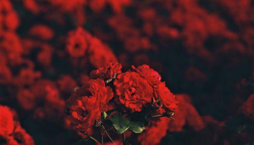 Impresja na pierwszy dzień wiosny, czyli sadzenie róż